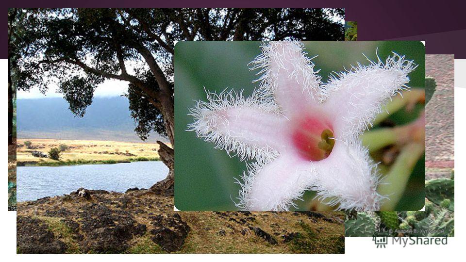 Флора На западных склонах Анд произрастают редкие кустарники, кактусы, на внутренних плоскогорьях, на востоке и севере высокогорные тропические степи, на юго-востоке полупустыни. На восточных склонах Анд и на равнинах сельвы произрастают влажные троп