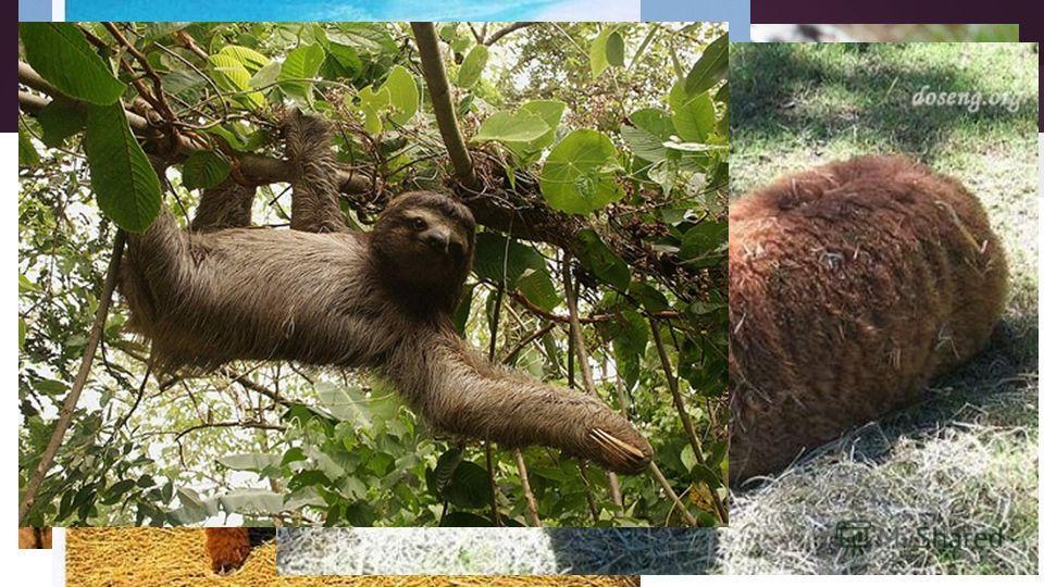 Фауна Из представителей животного мира на территории Перу обитают ягуар, пума, лама, обезьяны, муравьед, ленивец, тапир, шиншилла, броненосец, крокодил, большое количество птиц, змей, ящериц и насекомых. Ягуар Пума Лама
