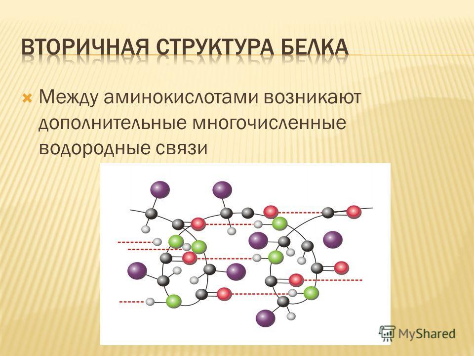 Между аминокислотами возникают дополнительные многочисленные водородные связи