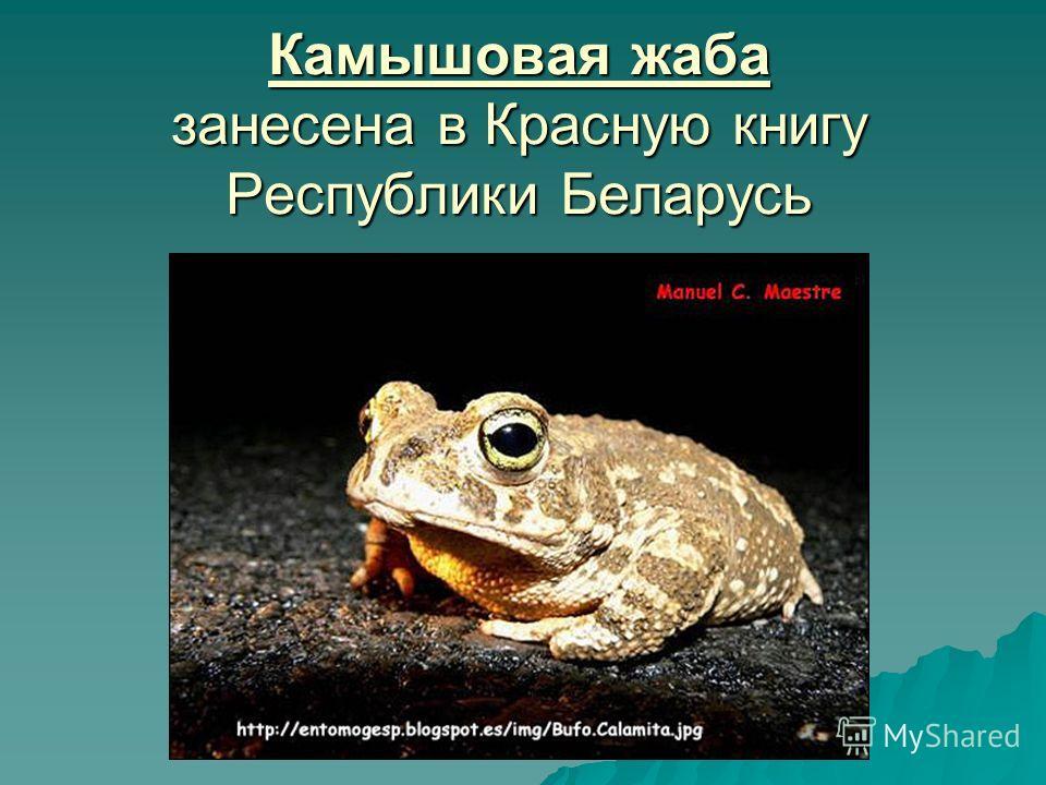 Камышовая жаба занесена в Красную книгу Республики Беларусь