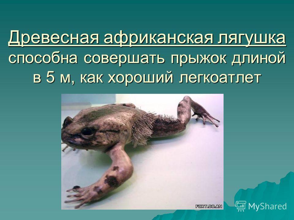 Древесная африканская лягушка способна совершать прыжок длиной в 5 м, как хороший легкоатлет