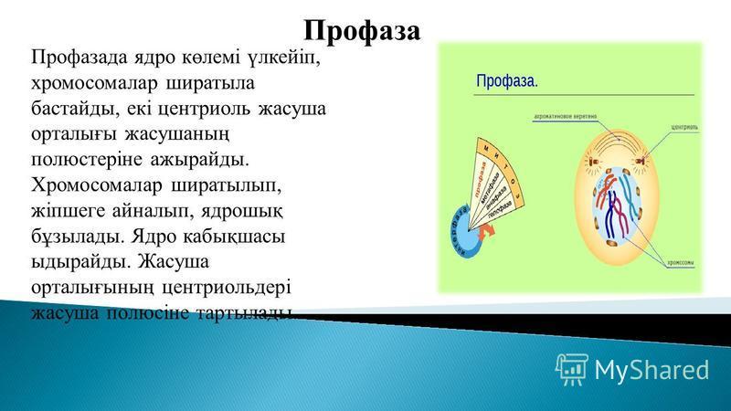 Профаза Профасада ядро көлемі үлкейіп, хромосомалар шира тыла бастарды, екі центриоль жасуша орталығы жасушаның полюстеріне ажырайды. Хромосомалар ширатылып, жіпшеге айналып, ядрошық бұзылады. Ядро кабықшасы ыдырайды. Жасуша орталығының центриольдері