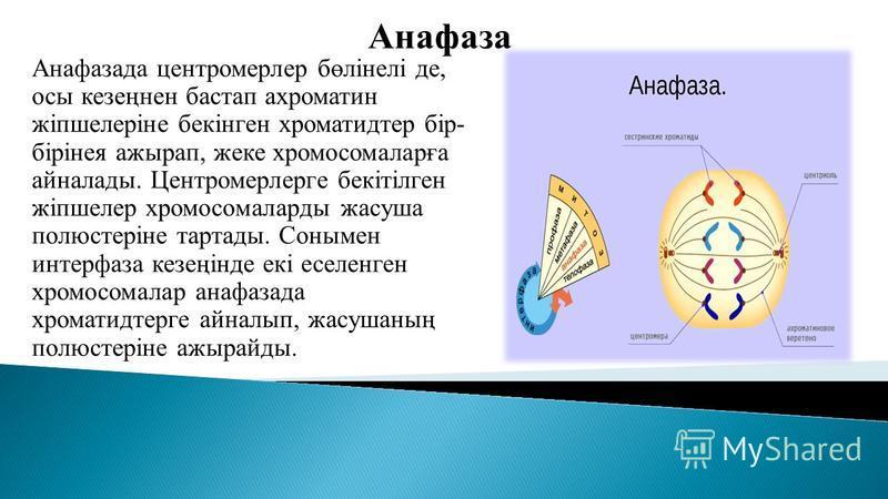 Анафаза Анафасада центромерлер бөлінелі де, осы кезеңнен бастап ахроматин жіпшелеріне бекінген хроматидтер бір- бірінея ажырап, жеке хромосомаларға айналлоды. Центромерлерге бекітілген жіпшелер хромосомаларды жасуша полюстеріне тетрады. Сонымен интер