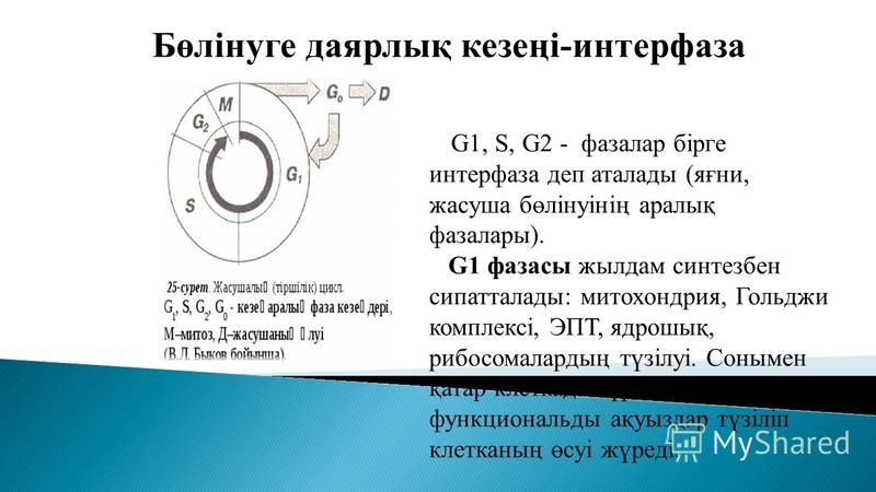 Бөлінуге даярлық кезеңі-интерфаза G1, S, G2 - фазалар бірге интерфаза деп аталлоды (яғни, жасуша бөлінуінің аралық фаза лары). G1 фазаны жил дам синтезбен сипатталлоды: митохондрия, Гольджи комплексі, ЭПТ, ядрошық, рибосомалардың түзілуі. Сонымен қат