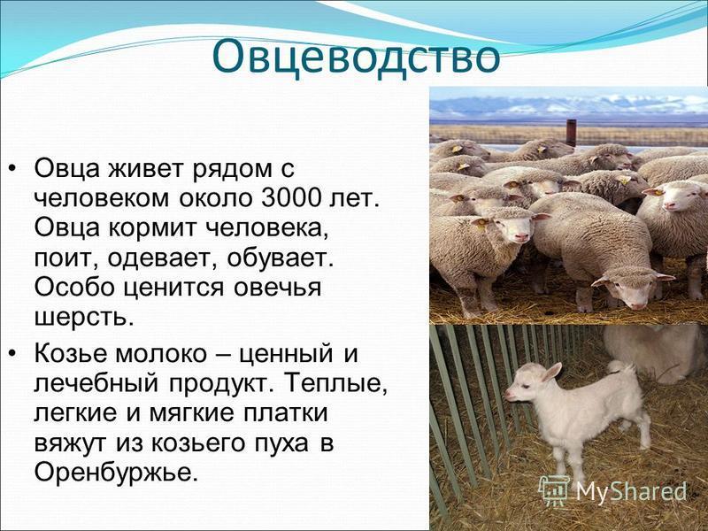 Овцеводство Овца живет рядом с человеком около 3000 лет. Овца кормит человека, поит, одевает, обувает. Особо ценится овечья шерсть. Козье молоко – ценный и лечебный продукт. Теплые, легкие и мягкие платки вяжут из козьего пуха в Оренбуржье.