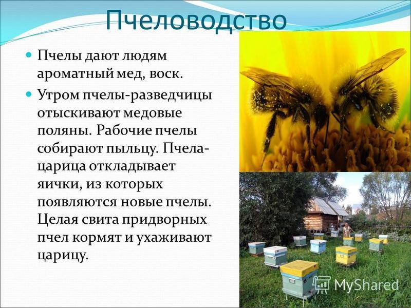 Пчеловодство Пчелы дают людям ароматный мед, воск. Утром пчелы-разведчицы отыскивают медовые поляны. Рабочие пчелы собирают пыльцу. Пчела- царица откладывает яички, из которых появляются новые пчелы. Целая свита придворных пчел кормят и ухаживают цар