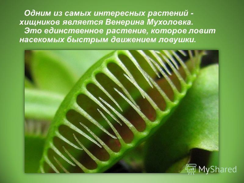 Одним из самых интересных растений - хищников является Венерина Мухоловка. Это единственное растение, которое ловит насекомых быстрым движением ловушки.