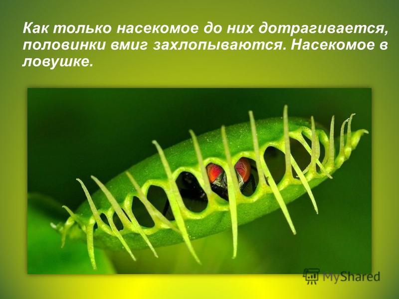 Как только насекомое до них дотрагивается, половинки вмиг захлопываются. Насекомое в ловушке.