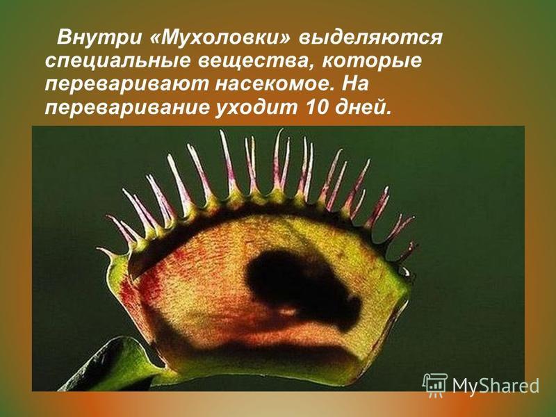 Внутри «Мухоловки» выделяются специальные вещества, которые переваривают насекомое. На переваривание уходит 10 дней.