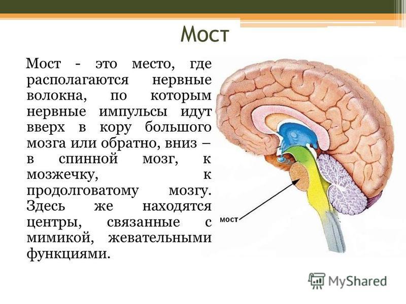 Мост Мост - это место, где располагаются нервные волокна, по которым нервные импульсы идут вверх в кору большого мозга или обратно, вниз – в спинной мозг, к мозжечку, к продолговатому мозгу. Здесь же находятся центры, связанные с мимикой, жевательным