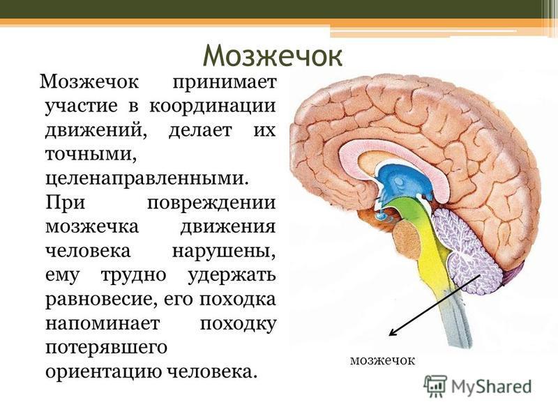 Мозжечок Мозжечок принимает участие в координации движений, делает их точными, целенаправленными. При повреждении мозжечка движения человека нарушены, ему трудно удержать равновесие, его походка напоминает походку потерявшего ориентацию человека. моз