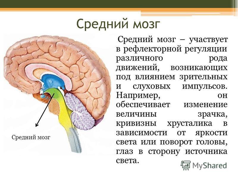 Средний мозг Средний мозг – участвует в рефлекторной регуляции различного рода движений, возникающих под влиянием зрительных и слуховых импульсов. Например, он обеспечивает изменение величины зрачка, кривизны хрусталика в зависимости от яркости света