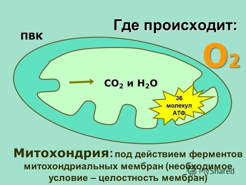 О2О2О2О2 Митохондрия : под действием ферментов митохондриальных мембран (необходимое условие – целостность мембран) ПВК СО 2 и Н 2 О 36 молекул АТФ Где происходит: