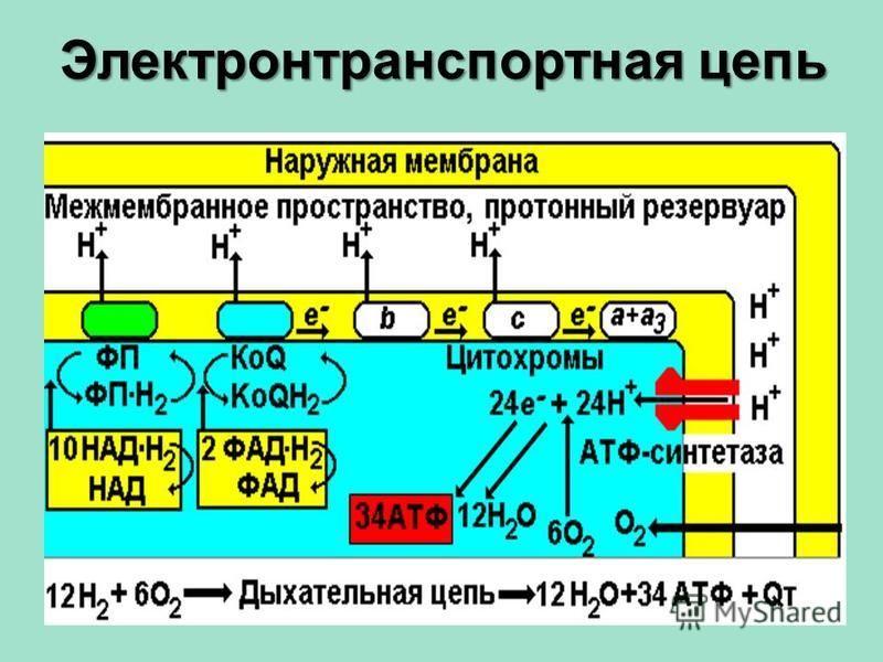 Электронтранспортная цепь