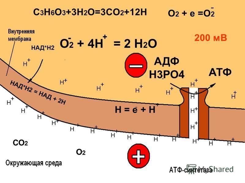 СО 2 Н = е + Н О 2 + 4Н = 2 Н 2 О + О2О2 200 мВ АДФ Н3РО4 АТФ + + + + + + + + + + + + + + + + + + Н Н Н Н Н Н Н Н НН Н Н Н Н Н Н Н Н Н Н Н Н Н + + + + - + - + - НАД*Н2 = НАД + 2Н НАД*Н2 C 3 H 6 O 3 +3H 2 O=3CO 2 +12H О 2 + е =О 2 -
