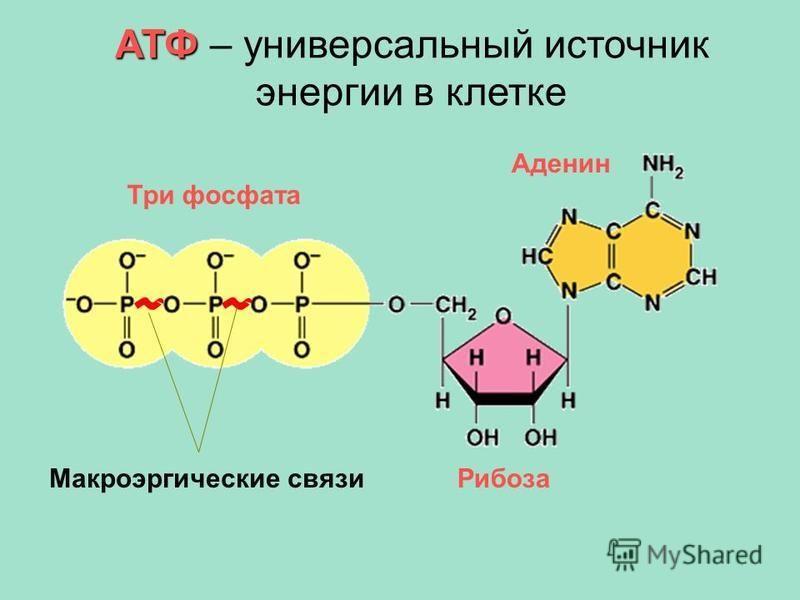 АТФ АТФ – универсальный источник энергии в клетке Аденин Рибоза Три фосфата Макроэргические связи