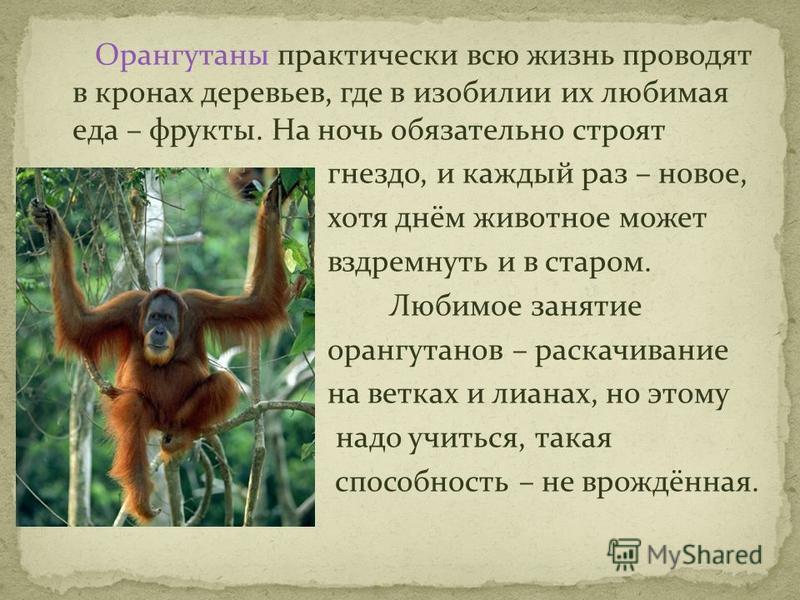 Орангутаны практически всю жизнь проводят в кронах деревьев, где в изобилии их любимая еда – фрукты. На ночь обязательно строят гнездо, и каждый раз – новое, хотя днём животное может вздремнуть и в старом. Любимое занятие орангутанов – раскачивание н