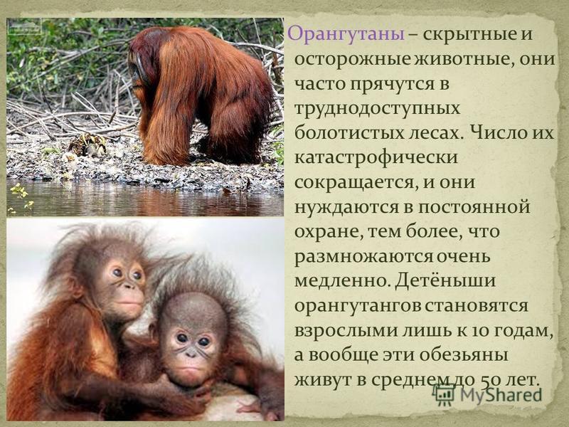 Орангутаны – скрытные и осторожные животные, они часто прячутся в труднодоступных болотистых лесах. Число их катастрофически сокращается, и они нуждаются в постоянной охране, тем более, что размножаются очень медленно. Детёныши орангутангов становятс