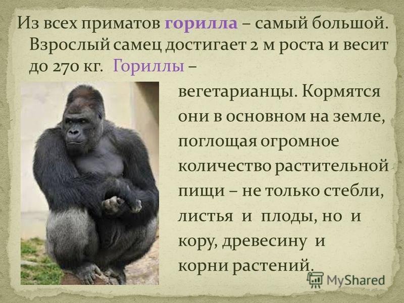 Из всех приматов горилла – самый большой. Взрослый самец достигает 2 м роста и весит до 270 кг. Гориллы – вегетарианцы. Кормятся они в основном на земле, поглощая огромное количество растительной пищи – не только стебли, листья и плоды, но и кору, др