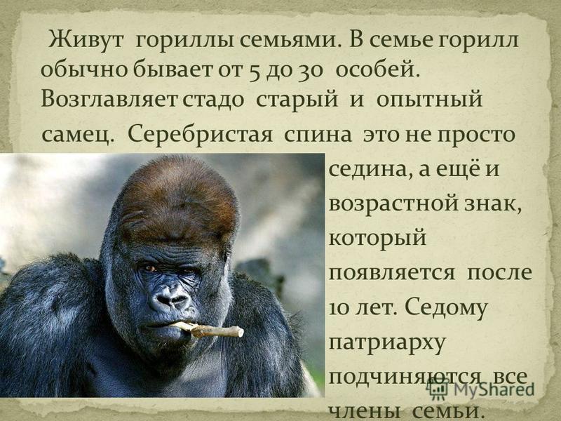 Живут гориллы семьями. В семье горилл обычно бывает от 5 до 30 особей. Возглавляет стадо старый и опытный самец. Серебристая спина это не просто седина, а ещё и возрастной знак, который появляется после 10 лет. Седому патриарху подчиняются все члены