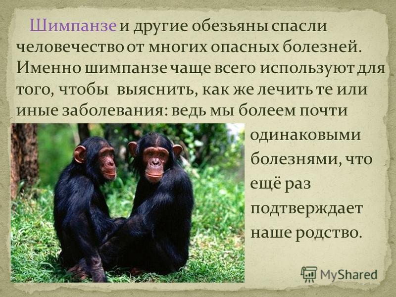 Шимпанзе и другие обезьяны спасли человечество от многих опасных болезней. Именно шимпанзе чаще всего используют для того, чтобы выяснить, как же лечить те или иные заболевания: ведь мы болеем почти одинаковыми болезнями, что ещё раз подтверждает наш