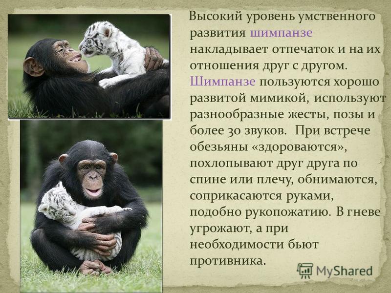 Высокий уровень умственного развития шимпанзе накладывает отпечаток и на их отношения друг с другом. Шимпанзе пользуются хорошо развитой мимикой, используют разнообразные жесты, позы и более 30 звуков. При встрече обезьяны «здороваются», похлопывают