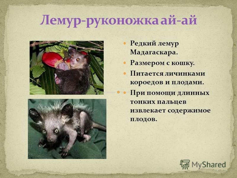 Редкий лемур Мадагаскара. Размером с кошку. Питается личинками короедов и плодами. При помощи длинных тонких пальцев извлекает содержимое плодов.