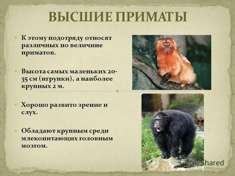 К этому подотряду относят различных по величине приматов. Высота самых маленьких 20- 35 см (игрунки), а наиболее крупных 2 м. Хорошо развито зрение и слух. Обладают крупным среди млекопитающих головным мозгом.