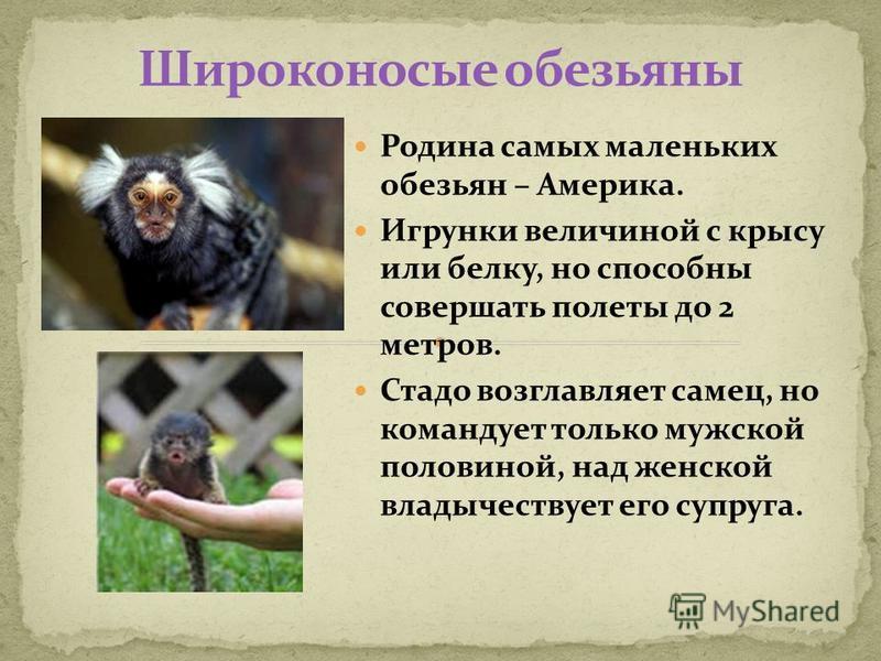 Родина самых маленьких обезьян – Америка. Игрунки величиной с крысу или белку, но способны совершать полеты до 2 метров. Стадо возглавляет самец, но командует только мужской половиной, над женской владычествует его супруга.