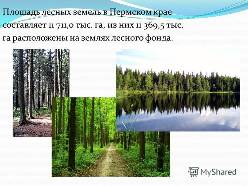 Площадь лесных земель в Пермском крае составляет 11 711,0 тыс. га, из них 11 369,5 тыс. га расположены на землях лесного фонда.