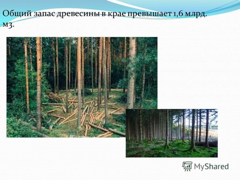 Общий запас древесины в крае превышает 1,6 млрд. м 3.