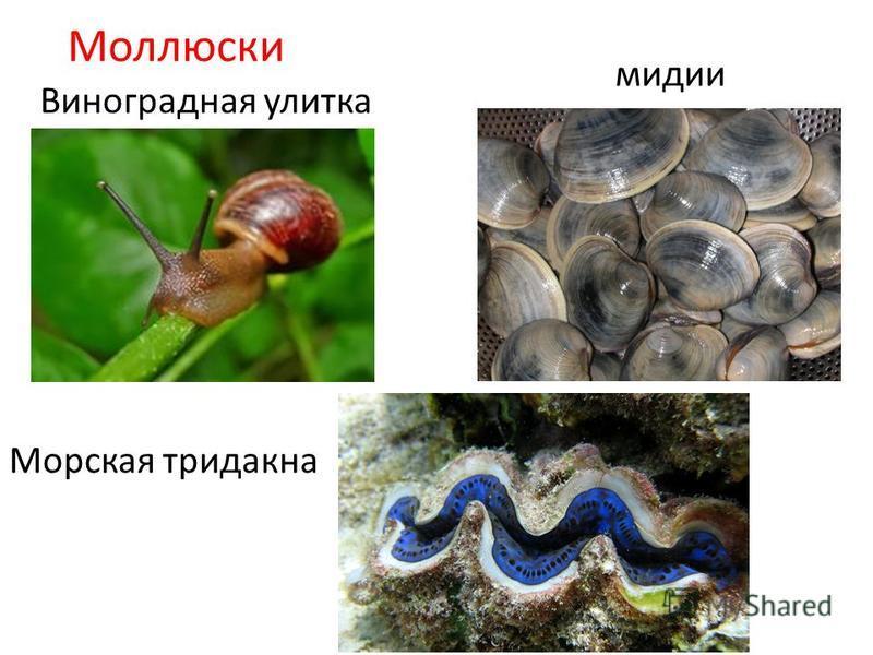 Моллюски Виноградная улитка мидии Морская тридакна