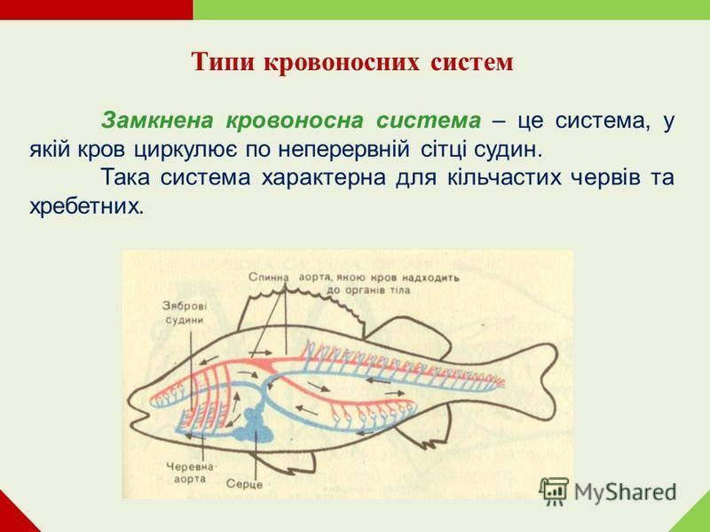Типи кровоносних систем Замкнена кровоносна система – це система, у якій кров циркулює по неперервній сітці судин. Така система характерна для кільчастих червів та хребетних.
