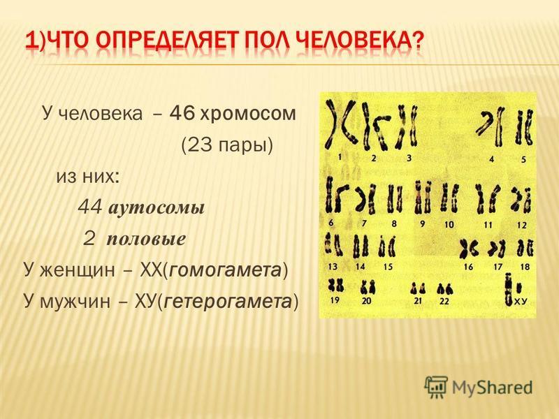 У человека – 46 хромосом (23 пары) из них: 44 аутосомы 2 половые У женщин – ХХ(гомогамета) У мужчин – ХУ(гетерогамета)