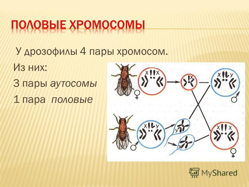 У дрозофилы 4 пары хромосом. Из них: 3 пары аутосомы 1 пара половые