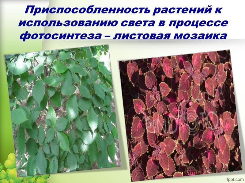 Приспособленность растений к использованию света в процессе фотосинтеза – листовая мозаика