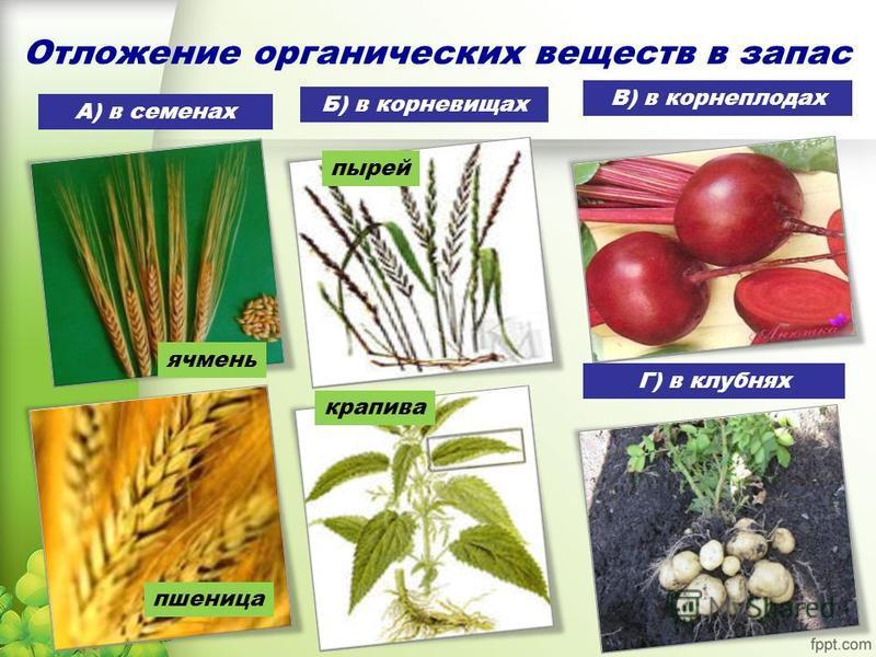 Отложение органических веществ в запас А) в семенах Б) в корневищах В) в корнеплодах Г) в клубнях ячмень пшеница пырей крапива