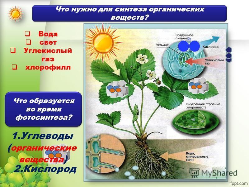 Вода свет Углекислый газ хлорофилл 1. Углеводы ( органические вещества ) Что нужно для синтеза органических веществ? Что образуется во время фотосинтеза? 2.Кислород