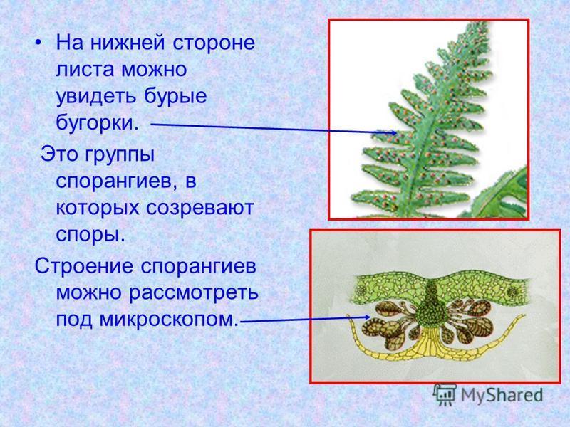 На нижней стороне листа можно увидеть бурые бугорки. Это группы спорангиев, в которых созревают споры. Строение спорангиев можно рассмотреть под микроскопом.