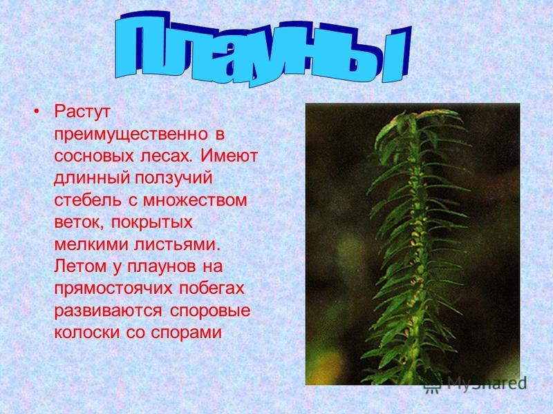 Растут преимущественно в сосновых лесах. Имеют длинный ползучий стебель с множеством веток, покрытых мелкими листьями. Летом у плаунов на прямостоячих побегах развиваются споровые колоски со спорами