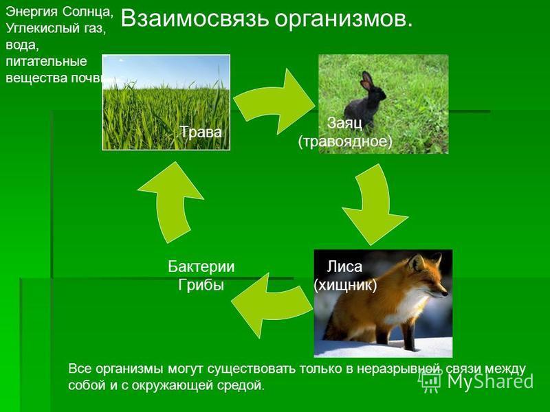 Взаимосвязь организмов. Все организмы могут существовать только в неразрывной связи между собой и с окружающей средой. Энергия Солнца, Углекислый газ, вода, питательные вещества почвы. Заяц (травоядное) Лиса (хищник) Бактерии Грибы Трава