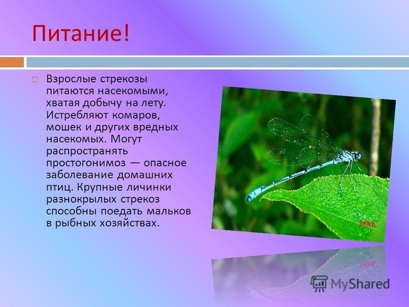 Питание ! Взрослые стрекозы питаются насекомыми, хватая добычу на лету. Истребляют комаров, мошек и других вредных насекомых. Могут распространять простогонимоз опасное заболевание домашних птиц. Крупные личинки разнокрылых стрекоз способны поедать м