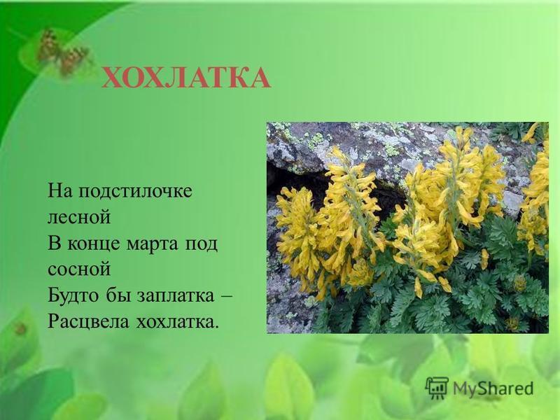 ХОХЛАТКА На подстилочке лесной В конце марта под сосной Будто бы заплатка – Расцвела хохлатка.