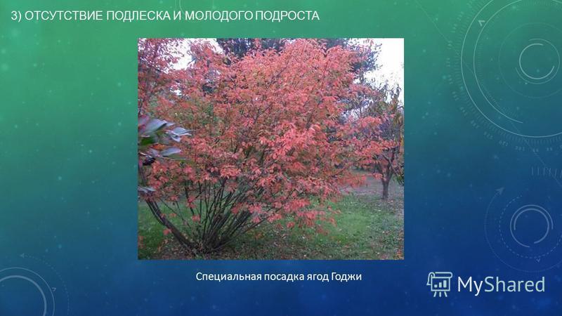 3) ОТСУТСТВИЕ ПОДЛЕСКА И МОЛОДОГО ПОДРОСТА Специальная посадка ягод Годжи