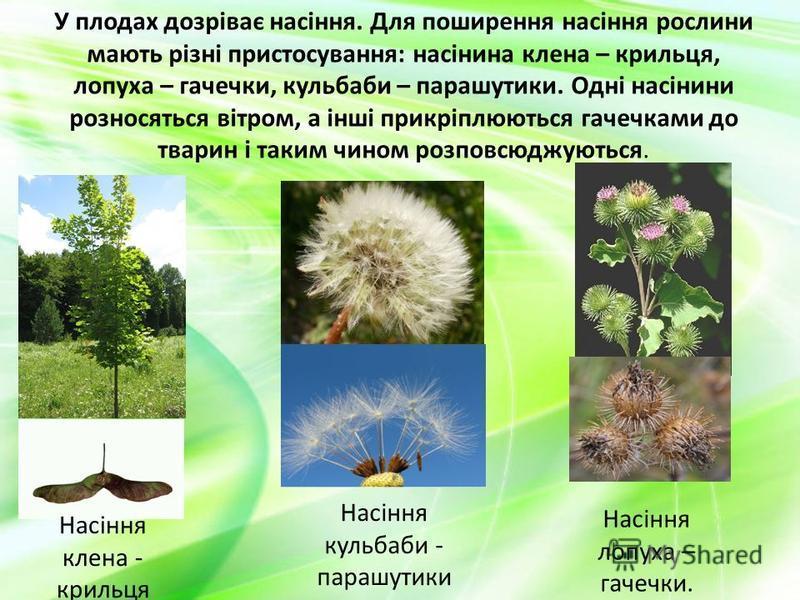 У плодах дозріває насіння. Для поширення насіння рослини мають різні пристосування: насінина клена – крильця, лопуха – гачечки, кульбаби – парашутики. Одні насінини розносяться вітром, а інші прикріплюються гачечками до тварин і таким чином розповсюд