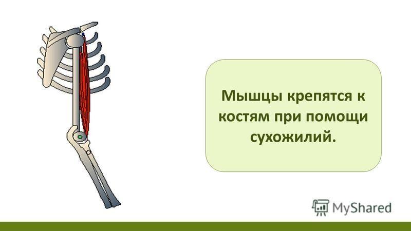 Мышцы крепятся к костям при помощи сухожилий.