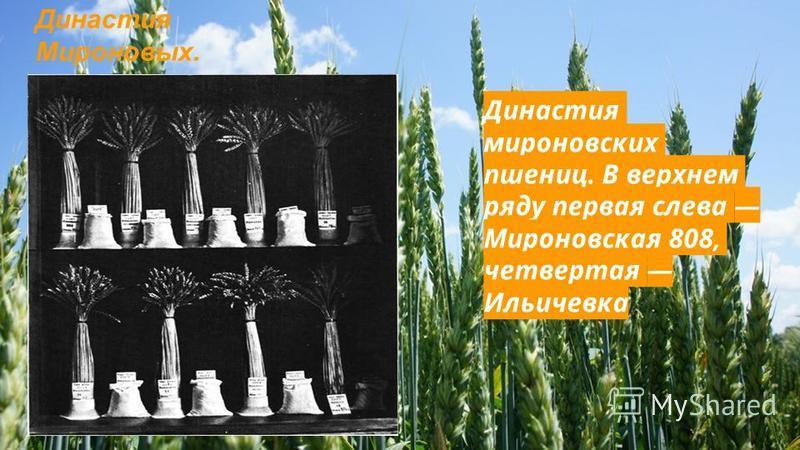 Династия мироновских пшениц. В верхнем ряду первая слева Мироновская 808, четвертая Ильичевка Династия Мироновых.