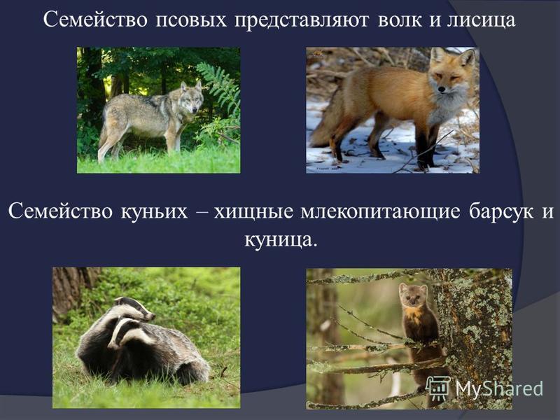Семейство куньих – хищные млекопитающие барсук и куница. Семейство псовых представляют волк и лисица