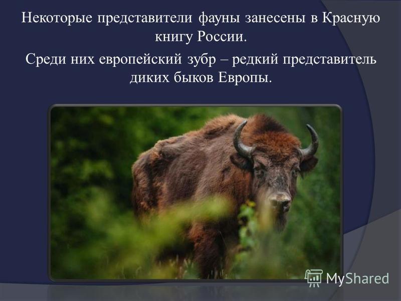 Некоторые представители фауны занесены в Красную книгу России. Среди них европейский зубр – редкий представитель диких быков Европы.