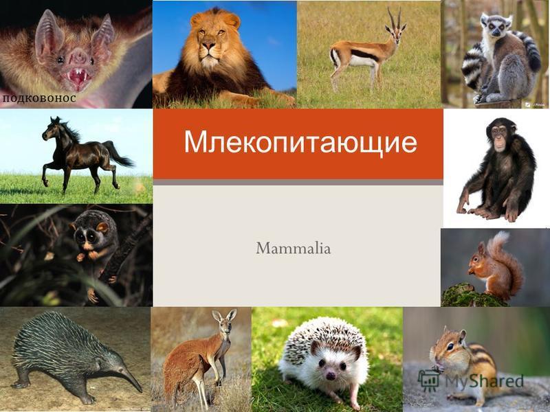 Mammalia Млекопитающие подковонос